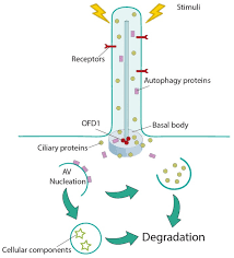 Factors That Negatively Influence The Health of The Cilia-click42