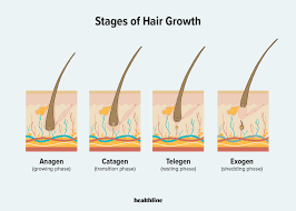 The Cycle of Eyelash Hair Growth is Divided Into 3 Main Stages-click42